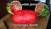 semangka, semangka botak